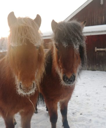 Young icelandic horses winter