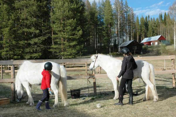 Brushing horses in Lapland