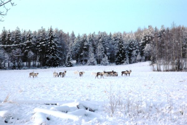 Reindeers Horses of Taiga
