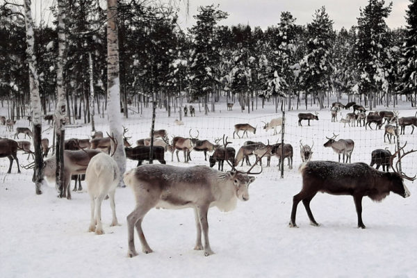reindeers winter